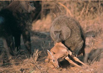 鬣狗杀狒狒