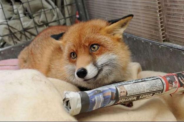 野生狐狸自认宠物与狗同居