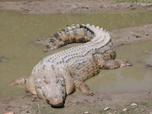 为冷血之卵生动物,长久以来的改变甚少,唯一水中或水陆的猎食者及